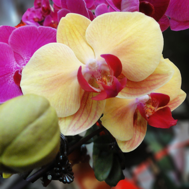 New 20Pcs Phalaenopsis Flower Seeds Plant Butterfly Orchid Garden Decoration