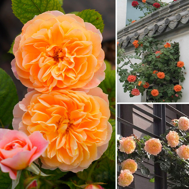 Multicolor 100pcs Climbing Rose Seeds Climber Perennial Flower Garden Decor