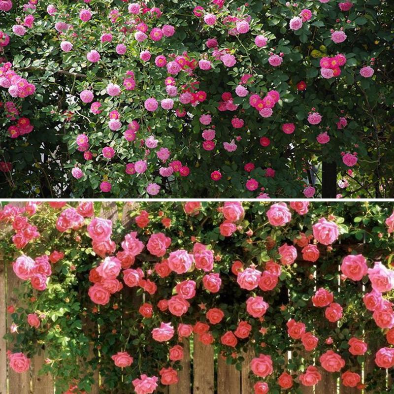 Multicolor 100pcs climbing rose seeds perennial fragrant flower garden decor ebay - Climbing plants that produce fragrant flowers ...