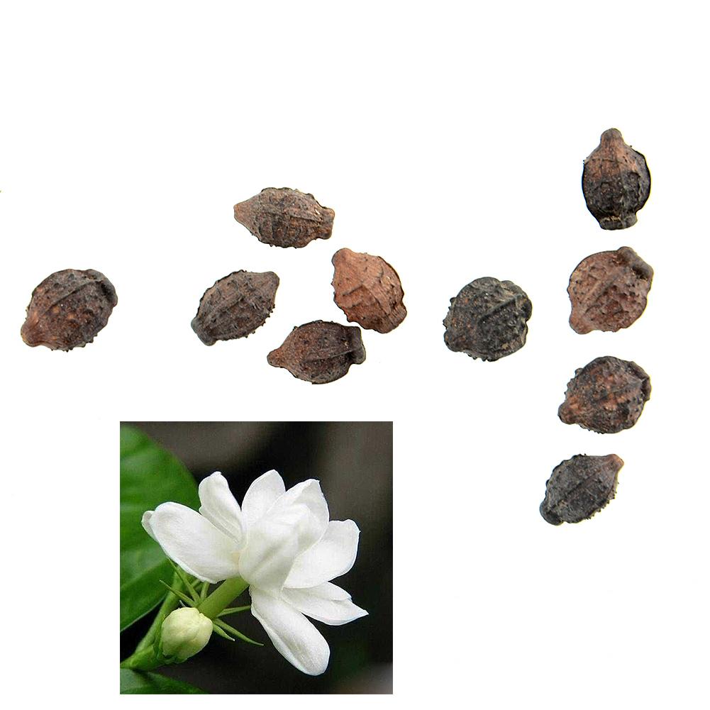 10pcs Gardenia Cape Jasmine Jasminiodes White Aromatic Flower Floral