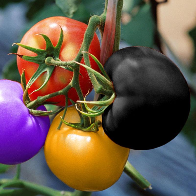 sonstige 100pc regenbogen tomatensamen bunten bonsai